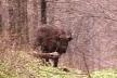 У чернівецьких лісах бігатимуть вінницькі зубри (Відео)