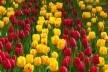 Неземна краса на Буковині: у селі Мамаївці фестиваль тюльпанів