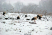 На Буковину почали повертатися лелеки (Фото)