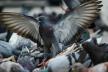 Мешканці багатоповерхівок у Чернівцях потерпають від смороду через мертвих голубів