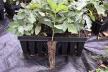 Буковинські лісгоспи вирощуватимуть саджанці із закритим корінням