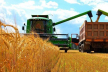 На Буковині тривають жнива: планують намолотити 180 тисяч тонн пшениці та 370 тисяч тонн кукурудзи