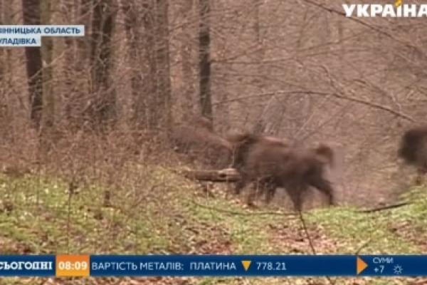 Чернівецькій області подарують 10 зубрів (Відео)