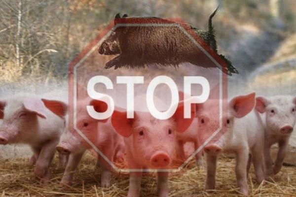 На Чернівеччині знищили 127 свиней