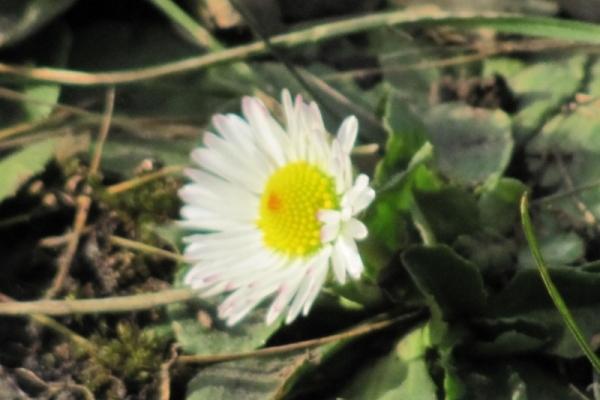 У Чернівцях взимку квітнуть весняні маргаритки (Фото)