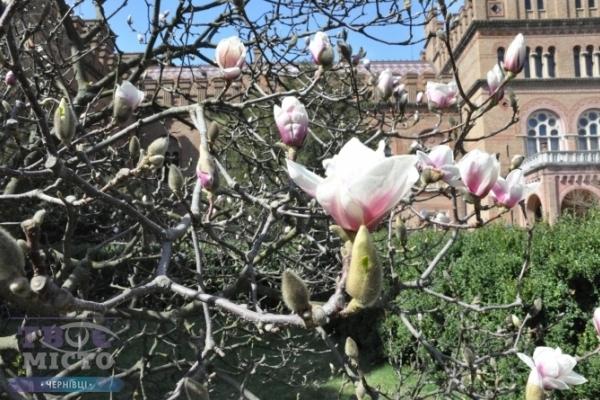 Як цвітуть чернівецькі магнолії (Фото)