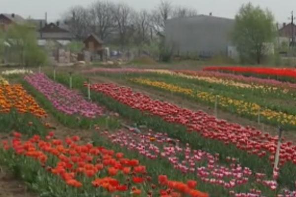 На Буковині чоловік на своєму полі висадив кілька десятків тисяч тюльпанів (Відео)