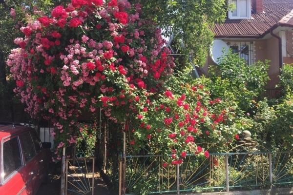 У центрі Чернівців жителі перетворили свій двір у трояндовий сад (Фото)