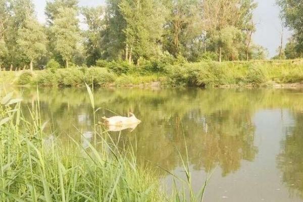 На Буковині плавають мертві свині (Фото)