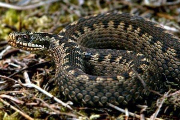 Буковинця за ногу вкусила змія, чоловік у реанімації