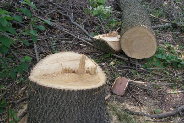 За незаконну рубку деревини НПП «Вижницький» завдав збитків на суму понад 95 тисяч гривень
