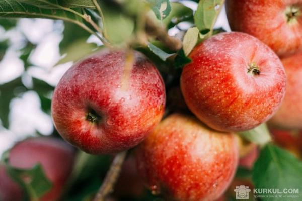 Буковинець відкрив сортувальну лінію для яблук