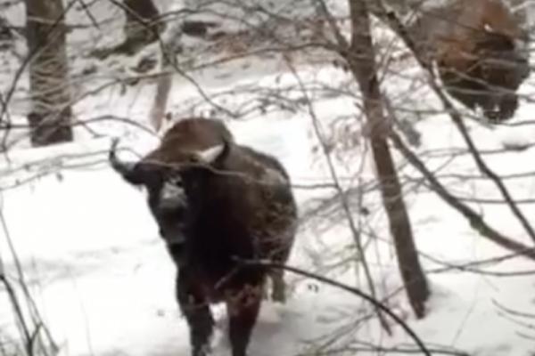 Буковинці зустріли диких зубрів (Відео)
