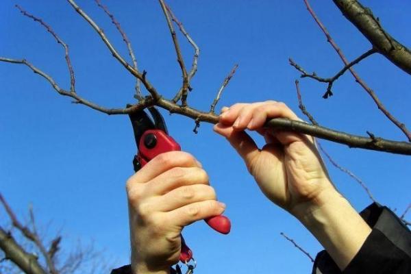 На Буковині триває обрізка плодових насаджень