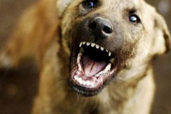 На Буковині собака накинувся на дитину та покусав за тім'я