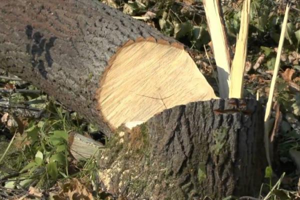 Зрубав дерево - посади нове: департамент ЖКГ Чернівців зареєстрував новий проект