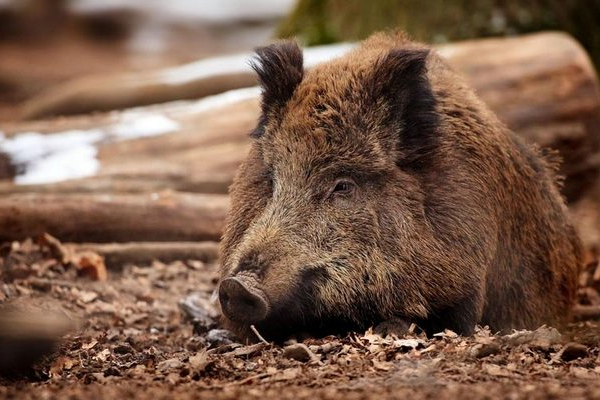Спалах африканської чуми на Буковині: у Сторожинецькому районі заборонили продаж свинини