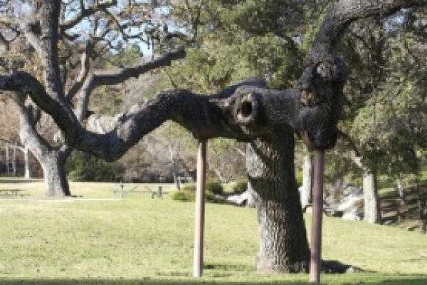 Новий порядок видалення дерев у місті просять прийняти чернівчани