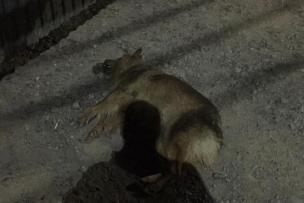 У Чернівцях невідомі потруїли собак