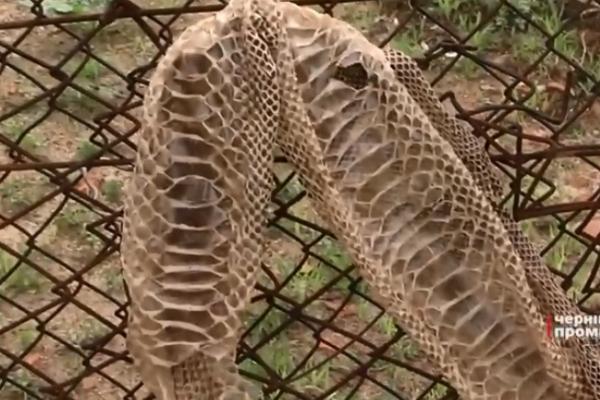 У Чернівцях живе сітчастий пітон (Відео)