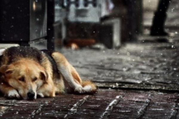 У Чернівцях підрахували безпритульних собак