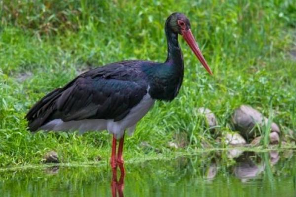 Лелека чорний - одна з перлин буковинської фауни - потребує захисту