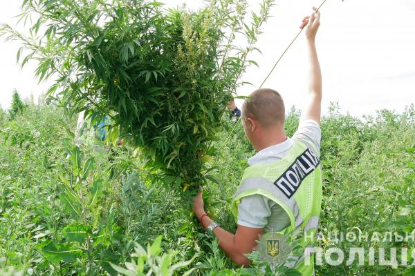 На Буковині у Горбово поліціянти вилучили більше 700 кущів коноплі