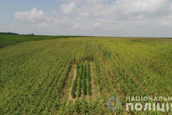 У Чернівецькій області викрили найбільшу в Україні плантацію коноплі (фото, відео)