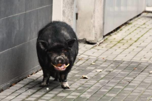 Яка доля спіткала кабана, який бігав вулицями Чернівців? (відео)