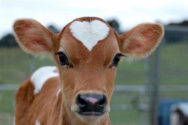 На Буковині власники великої рогатої худоби отримали фінансову допомогу від держави