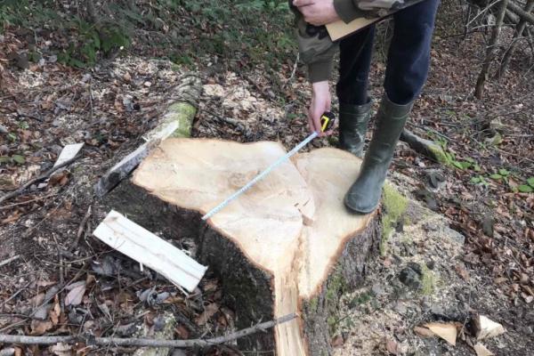 У Національному природному парку «Вижницький» незаконно рубають дерева