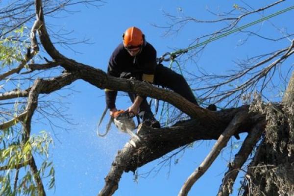 На вулиці Гагаріна у Чернівцях знесли шість аварійних дерев