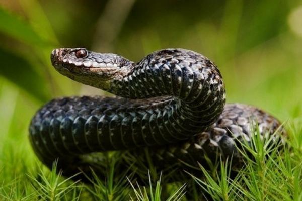 Буковинця госпіталізували з укусом змії