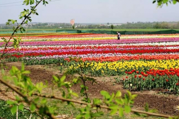 Тюльпанове поле у Мамаївцях цьогоріч закрили для відвідувачів