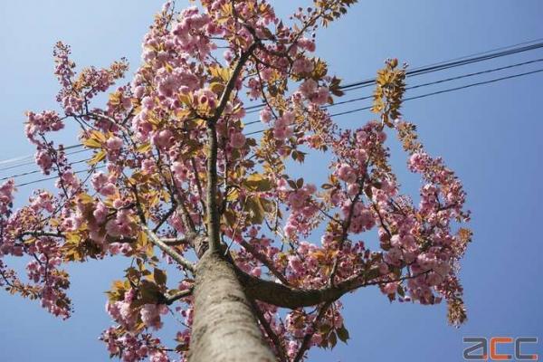 Цвітіння сакури у Чернівцях (Фоторепортаж)