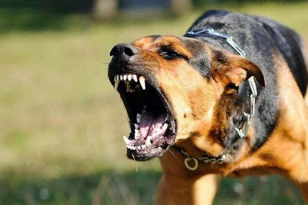 На Буковині собака вкусила 3-річну дитину за лице