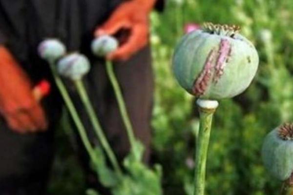 Буковинець у себе на городі вирощував наркотичні рослини, йому загрожує тюрма