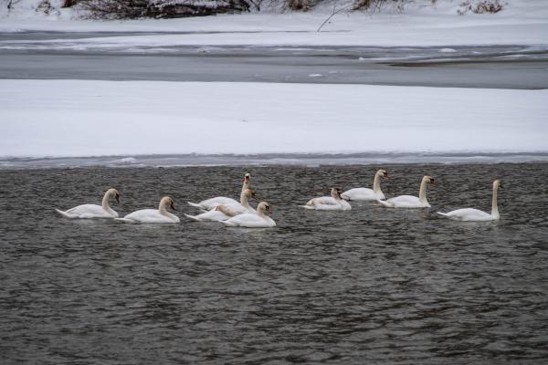 Білі лебеді оселилися на Пруті у Чернівецькій області
