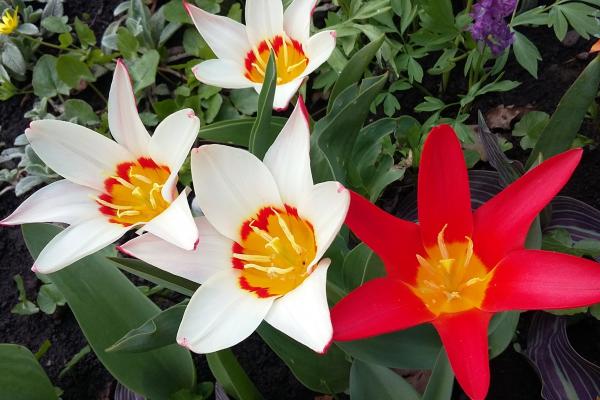 Ботанічний сад у Чернівцях квітне. Бажаючих запрошують на екскурсії (ФОТО)