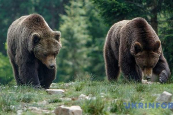 У лісі на Сторожинеччині родина ведмедів потрапила до фотопастки (ВІДЕО)