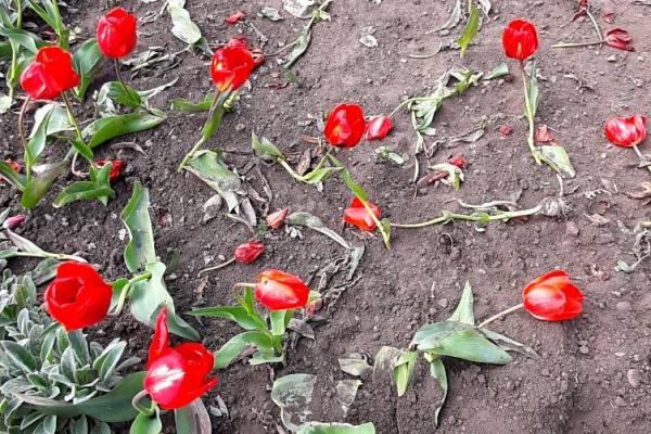 На Центральній площі Чернівців невідомі знищили клумбу тюльпанів (ФОТО)
